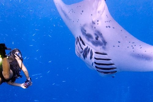 Amazing Manta Ray Encounters.jpg